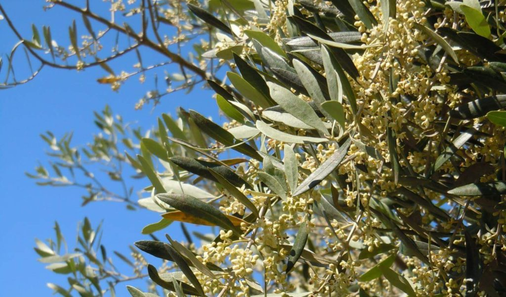 campi-all-omona-oliveto-2