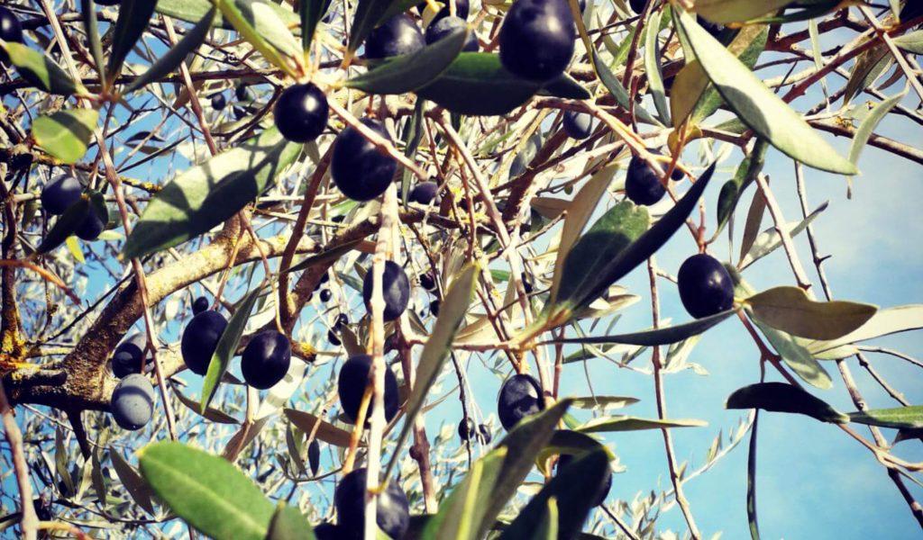 campi-all-omona-oliveto-5